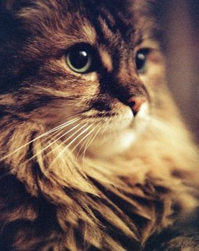 Maine Coon - looks like my little Ro-Ro <3