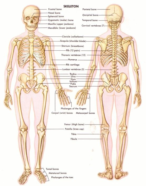 Understanding your structure helps you to train properly.  You should use the skeletal diagram along with the muscle diagram.