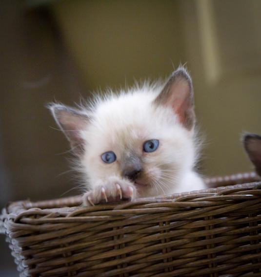 cute fluffy siamese kittens - photo #42