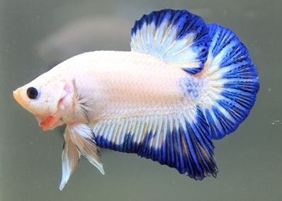 Plakat Betta Lovely plakat betta - blue and white are the best colors ...