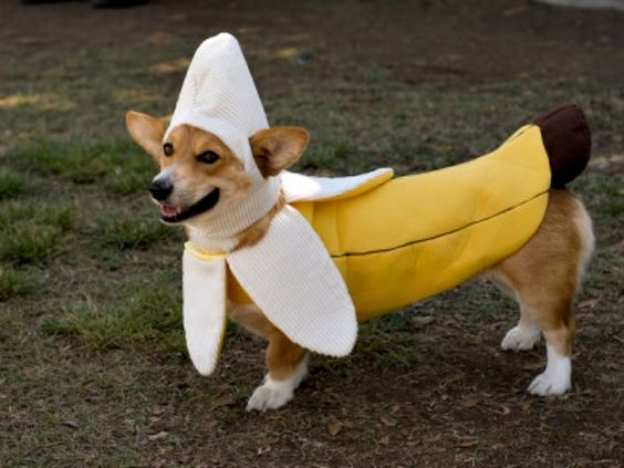 dog-banana-costume. I'm gonna dress all my dogs in banana suits and wear a banana suit myself and walk around as a banana family.
