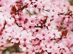 Kirsche, Blüte, Baum, Kirschblüte
