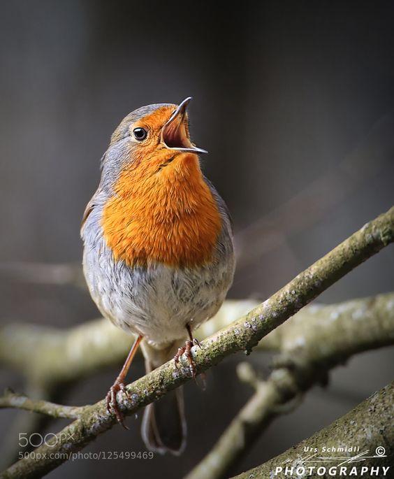 Robin (deutsch Rotkehlchen) #PatrickBorgenMD