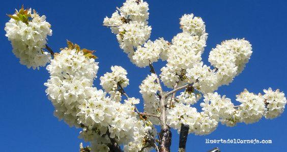 Flores de cerezos