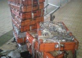 GNR apreende 368 quilos de polvo na Póvoa de Varzim