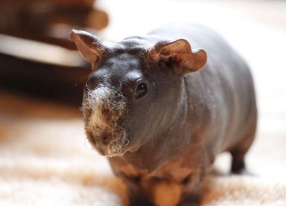 Movember #guineapig #yummypets