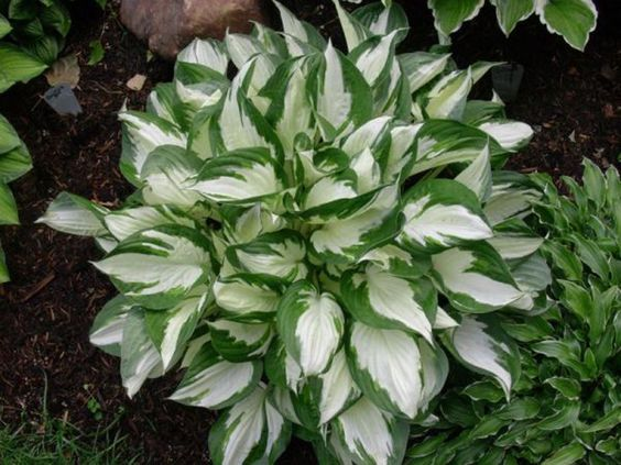 hosta fire and ice picture budd gardens hostas pinterest fire and ice ice pictures. Black Bedroom Furniture Sets. Home Design Ideas