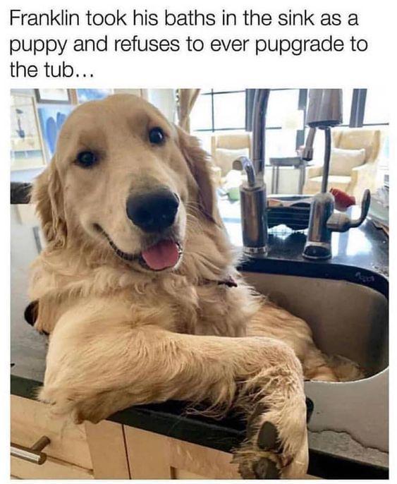 Golden Retriever Memes Dog Memes Pet Memes Funny Pet Memes Funny