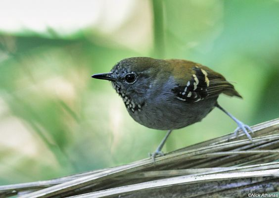 Star-throated Antwren - Myrmotherula gularis