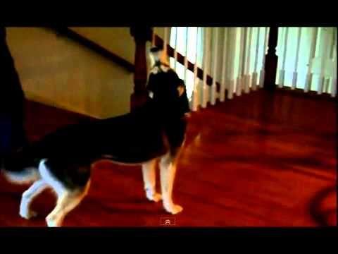 Funny Dogs - Siberian Husky Dog Talking