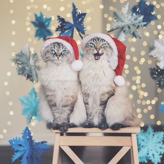 Happy (almost) Christmas Caterday!  (Photo by @hollysisson) ~  Follow our feature accounts @bestmeow and @bestwoof for the best cat and dog pics, and tag #bestmeow and #bestwoof for your chance to be featured! ~ Check out the Pitter Patter Furry Feet Facebook page! Link in bio.