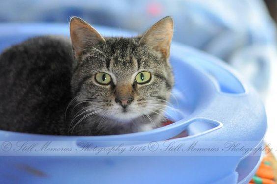 Meet Sadie, a Petfinder adoptable Tabby Cat | Muncie, IN | Sadie is a shy tweenager that loves quiet afternoons watching the dogs play in the Bark Park. Sadie...