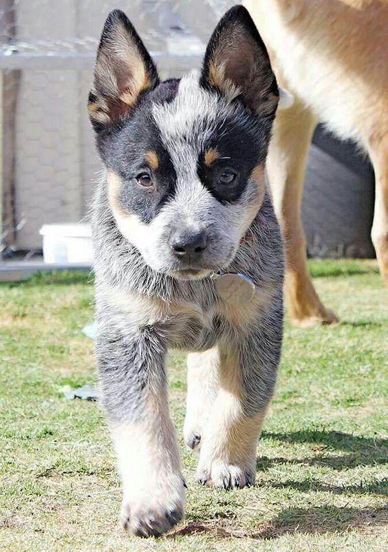 10 Best Australian Cattle Dog Names Austrailian Cattle Dog Aussie Cattle Dog Heeler Puppies