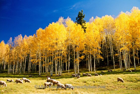 Flock of sheep in autumn, aspen trees, Colorado | Allen Russell ...