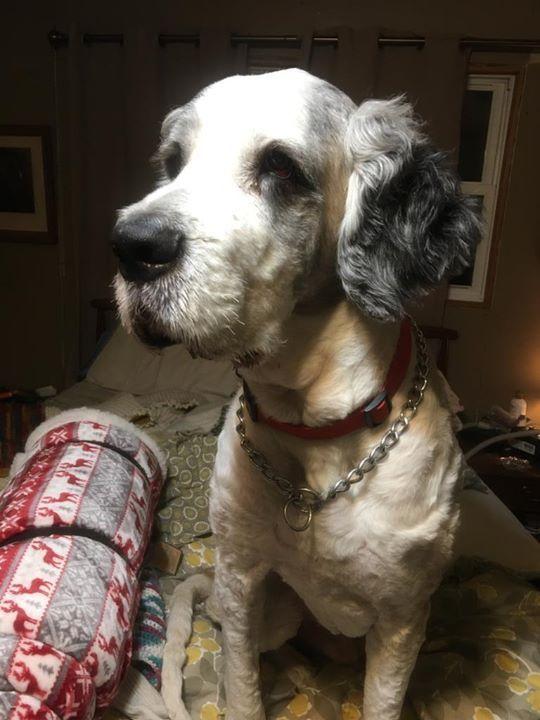 Lost Dog Isanti Saint Bernard Male Date Lost 12 12 2018 Dog S