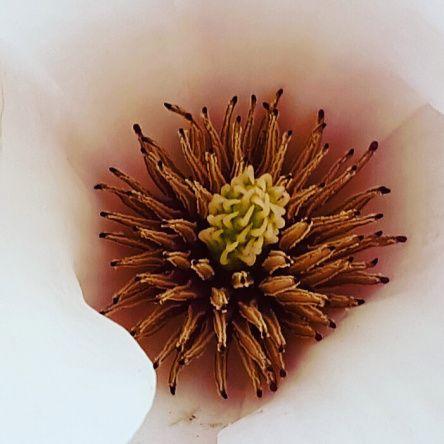 #Magnolie #Inneres der #Magnolienblüte