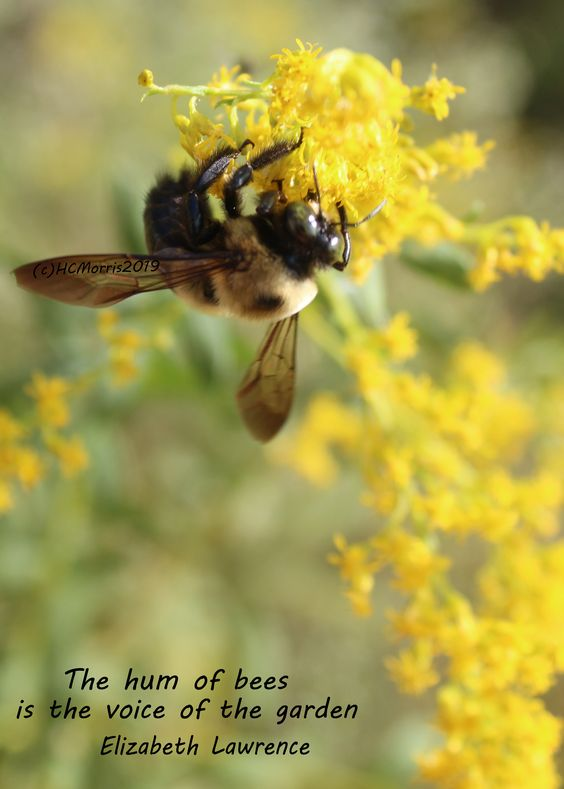 an image of a bee with Elizabeth Lawrence quote