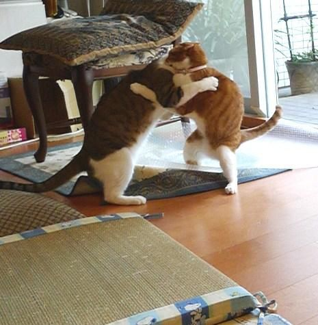 Fighting cat 6