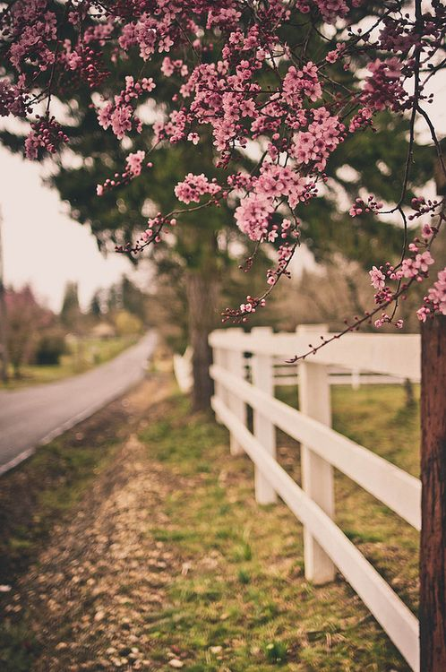 It's the simple things that make life worth living.  Like white fences and pink trees.