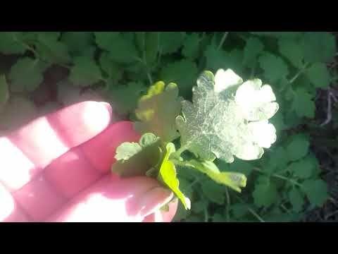 varicose garden tratament recenzii unguente funcționarea cu un laser pentru varicoză