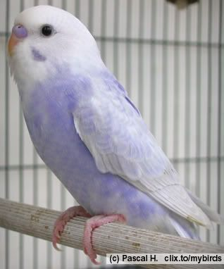 White Baby Parakeet What a cute budgie! It...