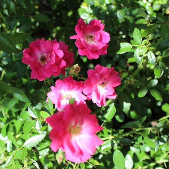 Garden Roses Flower Petal: Rose Petals, Flowers Garden And Jamaica On Pinterest