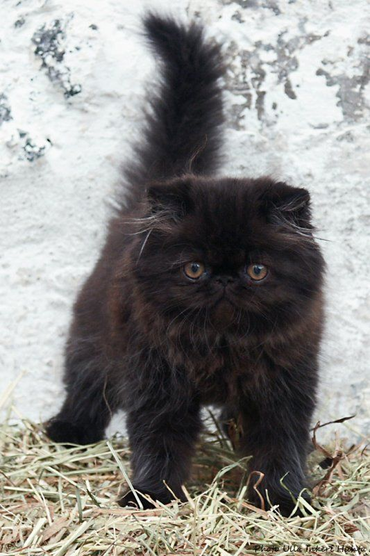 Long haired black kitten
