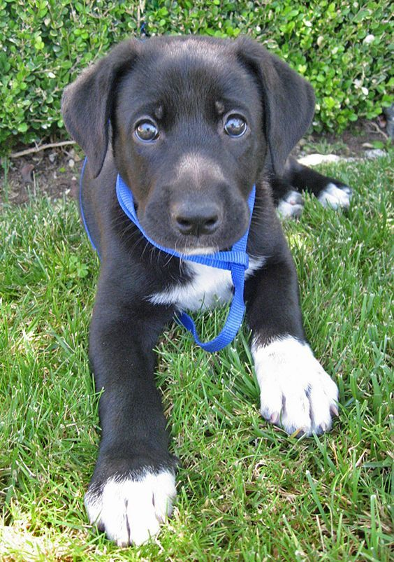 German Shepherd Lab Mix Shepador Lab Mix Puppies Shepherd Mix