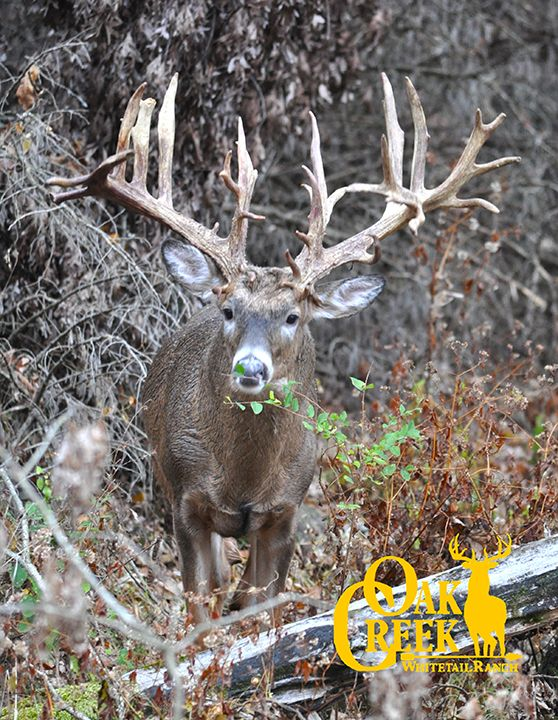 Monster buck seen Oct. 29 here at Oak Creek Whitetail Ranch!