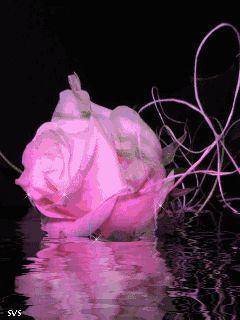 خلفيات ورد متحركة للموبايل صور ورود جميلة متحركة للجوال Rose Flowers Plants