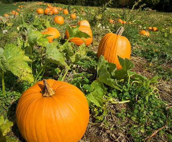 This is a great site for pumpkin planting!