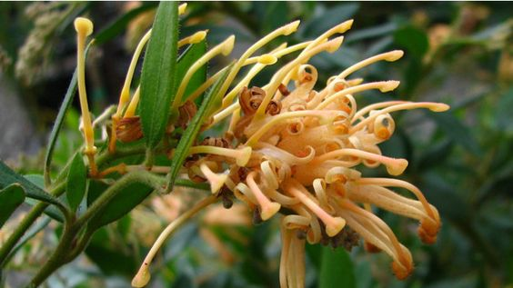 Deuagold  Grevillea 'Deuagold' is another bright beauty. With rich gold flowers adorning the plant for most of the year it really peaks over the winter months. Named for its origins near the Deua National Park in NSW, 'Deaugold' is superb performer in tough landscape conditions.