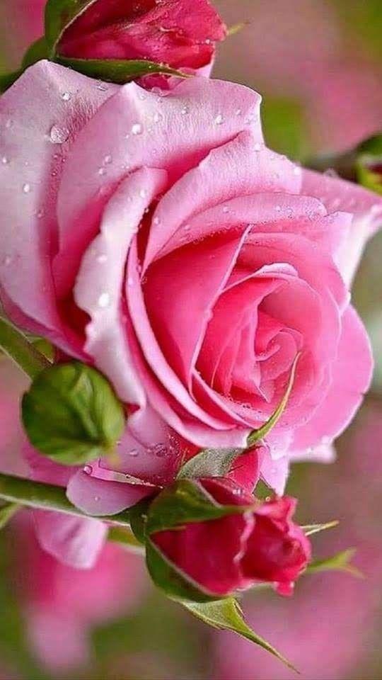 Lindas rosas 🌹🌿🌷