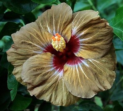 "Wakanisha Tropical Hibiscus Plant in 4 5"" Pot 