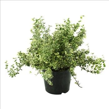 Euonymus fortunei 'Emerald Gaiety' : H.40/50 ctr 5L