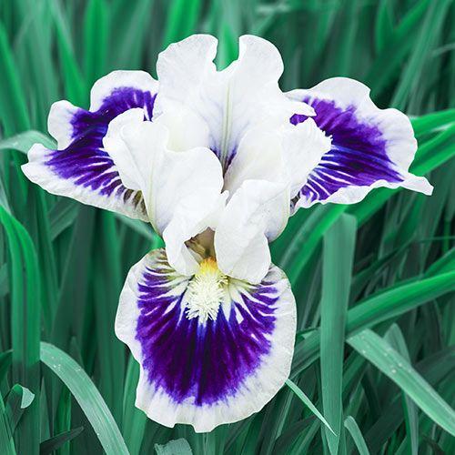 Riveting Dwarf Bearded Iris Iris Flowers Purple Flowers Bearded Iris