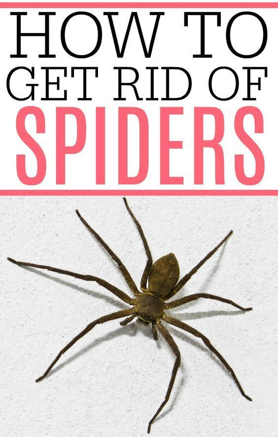 b4319740ed2133a765f6ca870a44de43 - How To Get Rid Of Spiders From Your Car