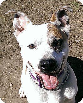 Monroe, MI - Shepherd (Unknown Type)/American Bulldog Mix. Meet Scooter, a dog for adoption. http://www.adoptapet.com/pet/10825197-monroe-michigan-shepherd-unknown-type-mix