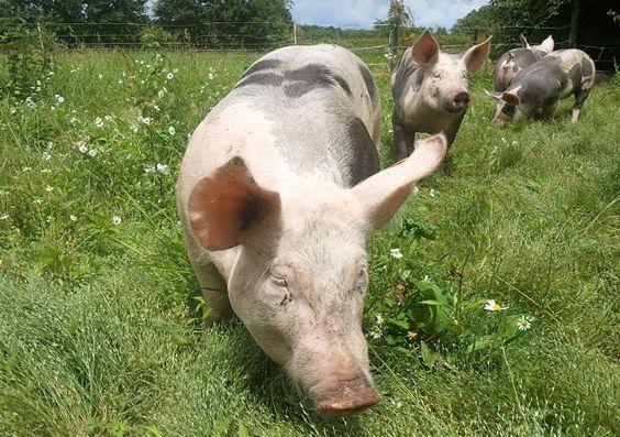 Onze Pietrain varkens