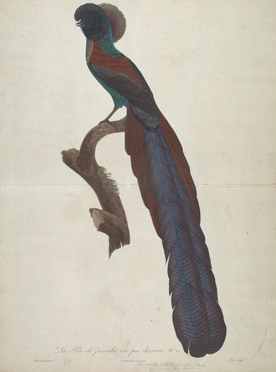 Bird of Paradise. Histoire naturelle des oiseaux de paradis et des rolliers : suivie de celle des toucans et des barbus, 1806