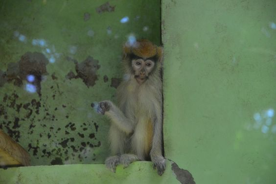 baby patas monkey - 2014/09/14