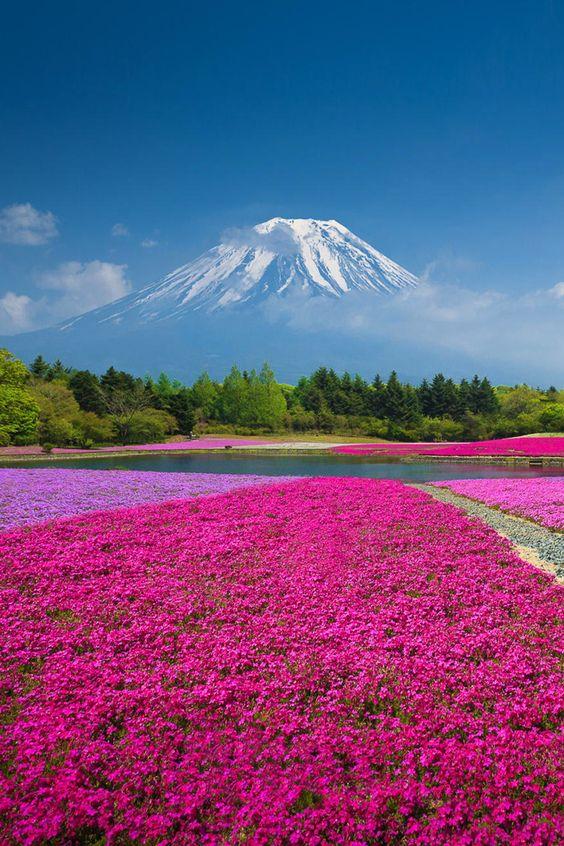 Фестиваль цветов Шибазакура, Япония