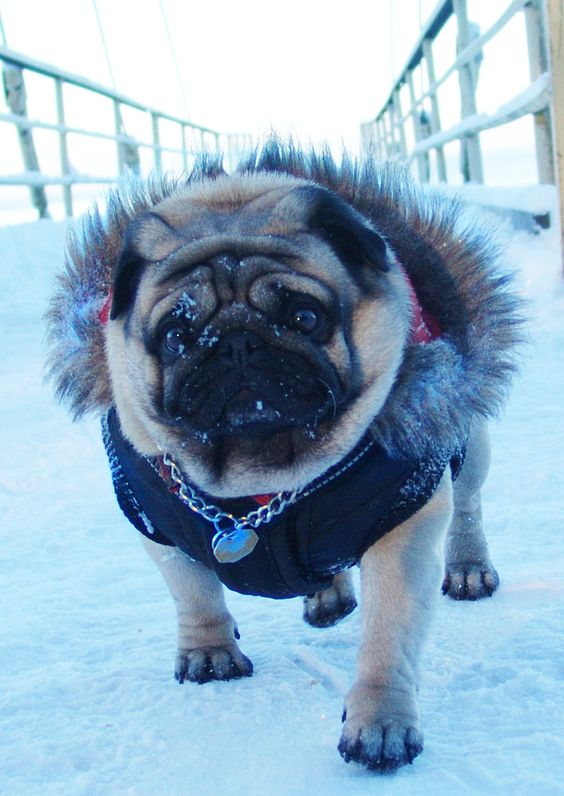 dogs in clothes pug puppy pugs pinterest ice age