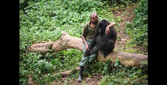 Man comforts mountain gorilla who lost its mother to poachers. At Virunga National Park.