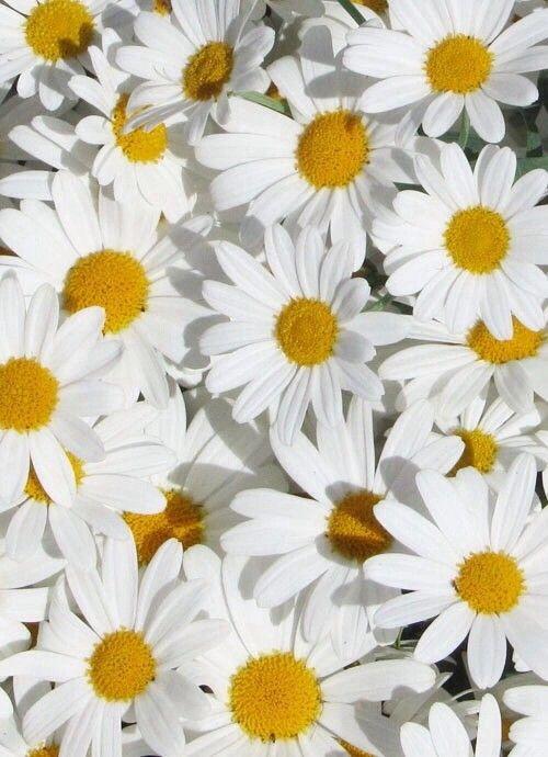 58 Citation Sur Les Fleurs Marguerites