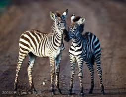 Baby zebras!!!  I pet one of these once...In a department store!!!
