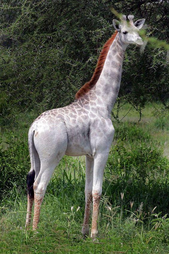 Tanzanya'da görülen nadir beyaz zürafa Omo ile tanışın.