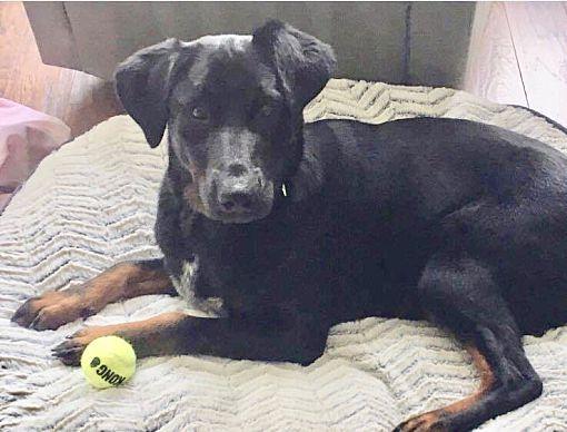 Austin Tx Labrador Retriever Meet Laney A Pet For Adoption