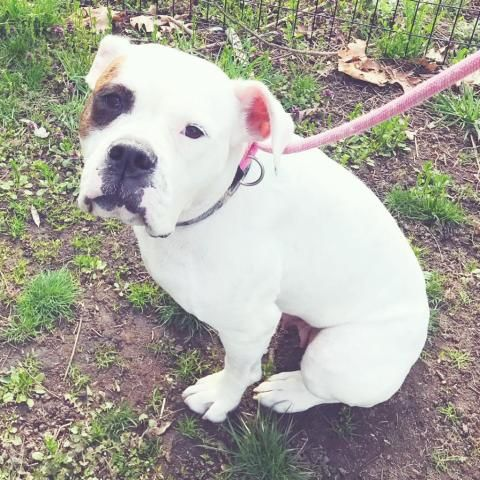 Adopt American Bulldog Dog Named Chloe Dog Names Bulldog Dog Dogs