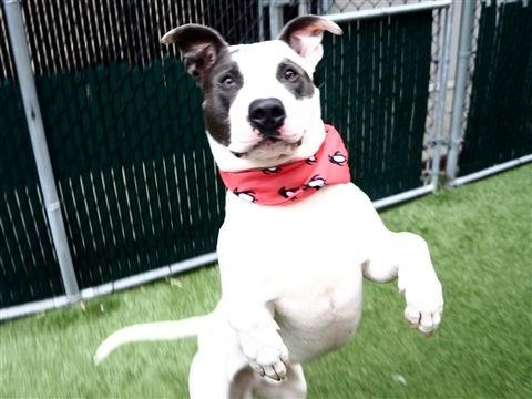 Safe 5 16 19 Belly Is At Risk Of Euthanasia And Needs Placement Please Consider Opening Your Home Today Ello My Name Is B Animals Dog Behavior Pet Care